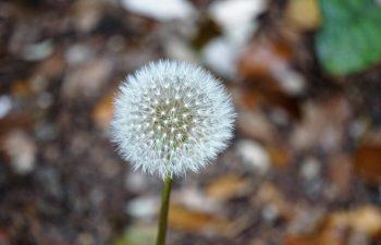 plant - dandelion