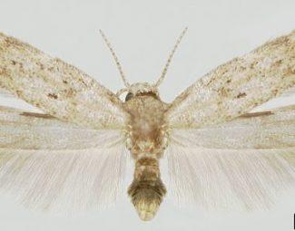 adult tomato pinworm