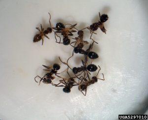 Rasberry Crazy Ants
