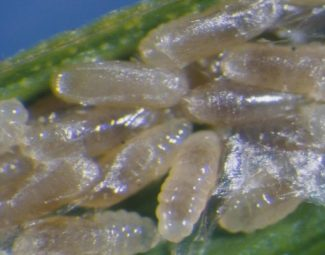 larvae of the diaprepes root weevil